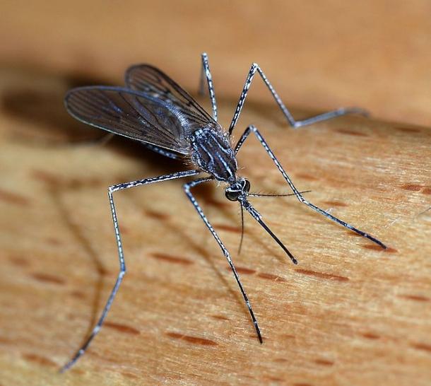 Mosquito - Animais Mais Perigosos do Mundo