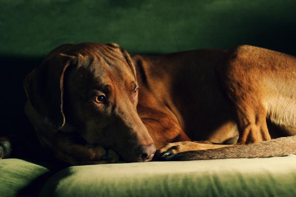 raças de cães de guarda