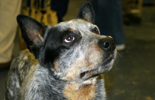 raças de cães mais inteligentes