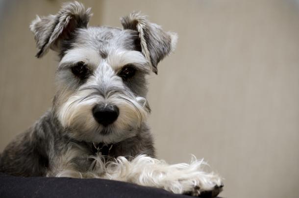 raças de cães que mais ladram