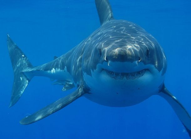 Tubarão Branco - Animais Mais Perigosos do Mundo